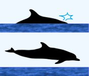 Spotted Dolphin Surface Characteristics